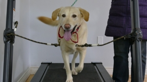 treadmill dog